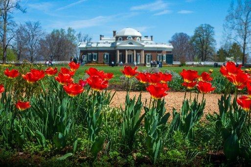 Charlottesville tulips